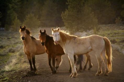 wild-horses-california